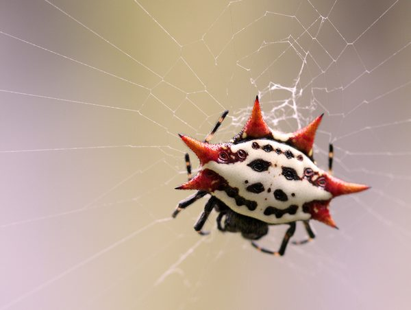 spiders32