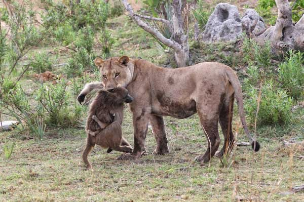 After A Lioness Killed A Baboon, This Baby Was Left All Alone. What Happened Next Is Unbelievable. (4)